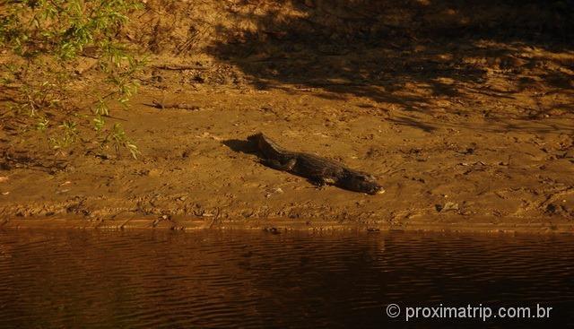 jacaré visto no passeio de barco da fazenda Xaraés - Pantanal