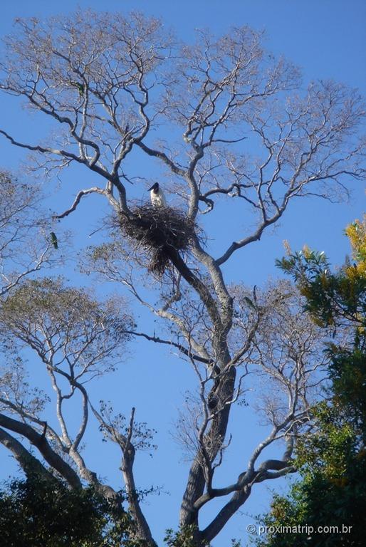 Ninho de jaburu visto na fazenda Xaraés - Pantanal