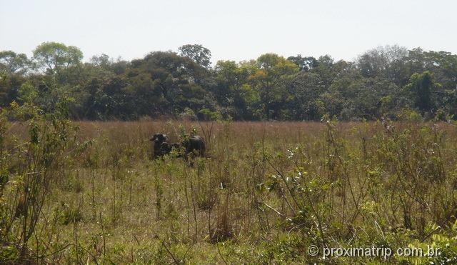 Búfalos no pantanal
