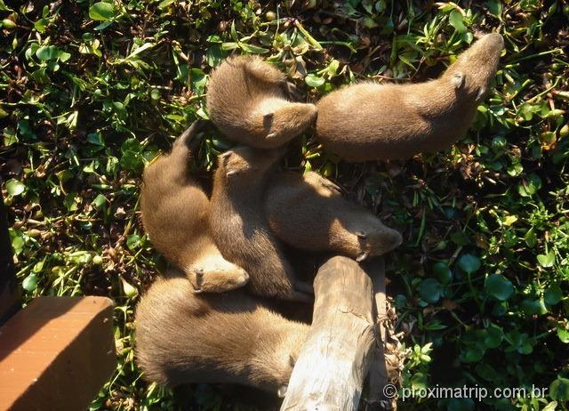Família de Capivaras no Pantanal - fotografada das passarelas do Passo do Lontra Parque Hotel