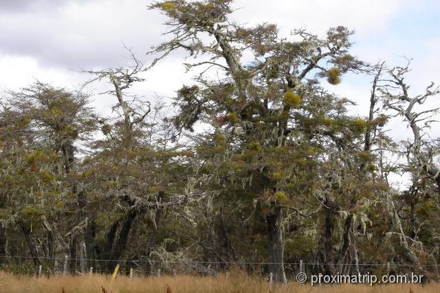 """""""Barba de árvore"""", vistas no caminho de Punta Arenas a Puerto Natales"""
