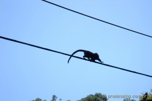 mico sagui visto no parque estadual do jaraguá