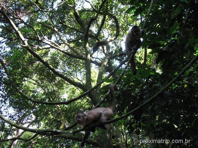 Macaco Prego - Pq. Estadual do Jaraguá - trilha do Pai zé