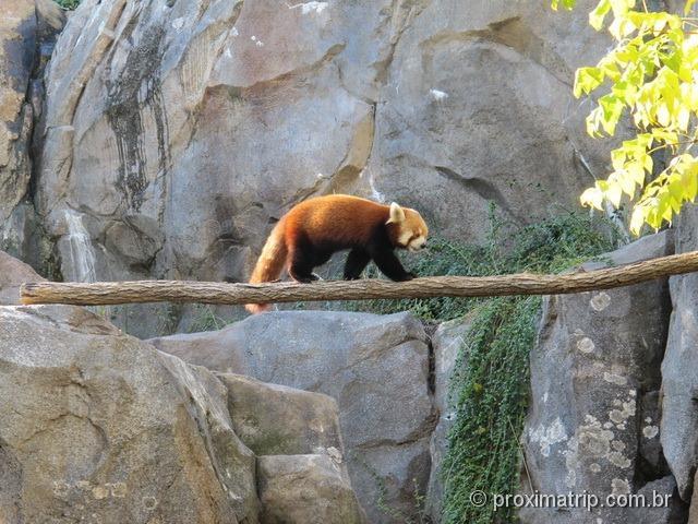 Panda Vermelho - zoológico da capital dos EUA