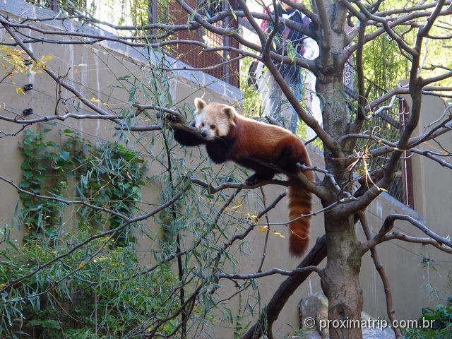Panda Vermelho no zoológico da capital dos EUA