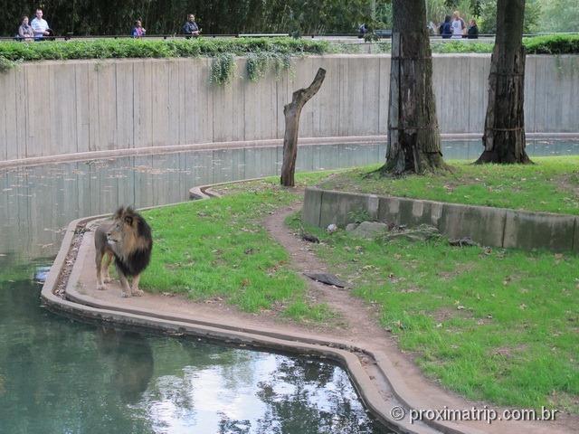Leão - National Zoo em Washington DC