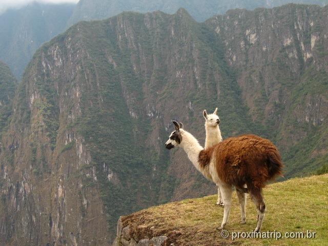 Lhamas em Machu Picchu - Peru