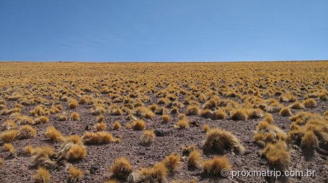 capim amarelo de altitude - deserto do Atacama