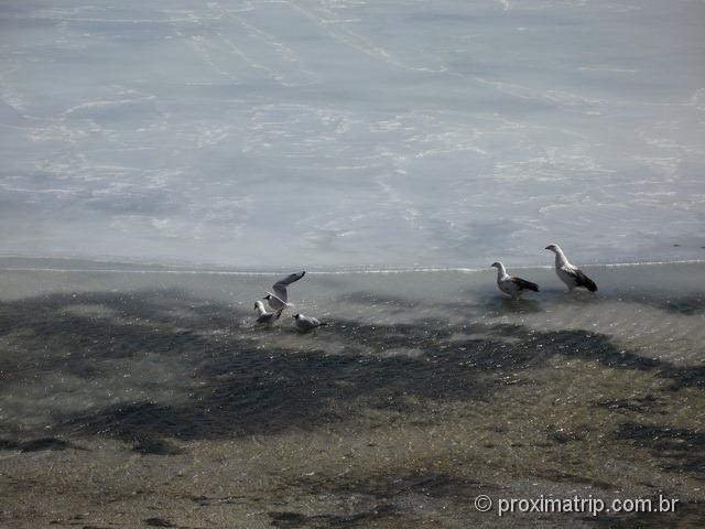 Aves na Laguna blanca parcialmente congelada - Reserva Nacional Eduardo Avaroa - Bolívia