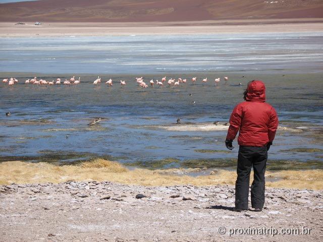Flamingos rosas selvagens Laguna blanca Bolívia