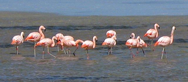 Flamingos rosa rosados Laguna blanca Reserva Nacional Eduardo Avaroa Bolívia