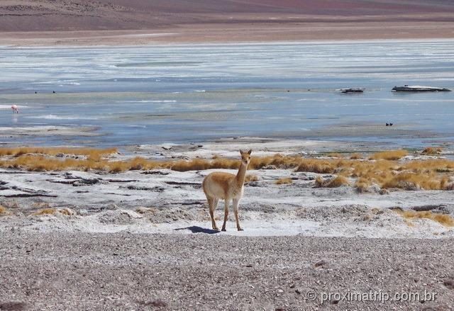 Guanaco selvagem Laguna blanca Reserva Nacional Eduardo Avaroa Bolívia