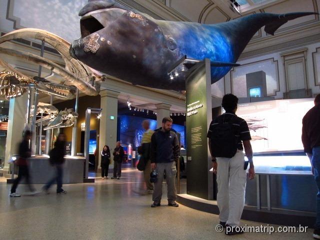Baleia tamanho real Museu História Natural Washington DC Smithsonian