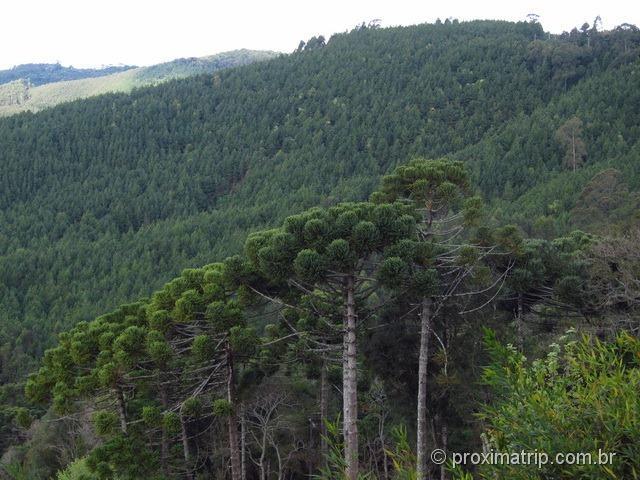 Araucárias Monte Verde