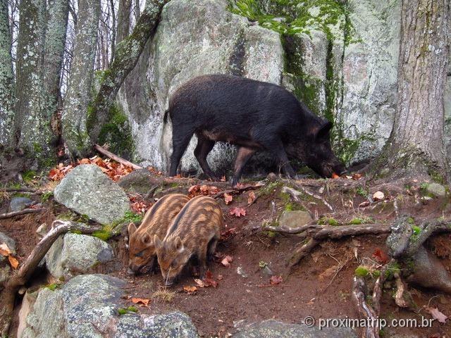Porco do Mato - Parc Omega - Canadá