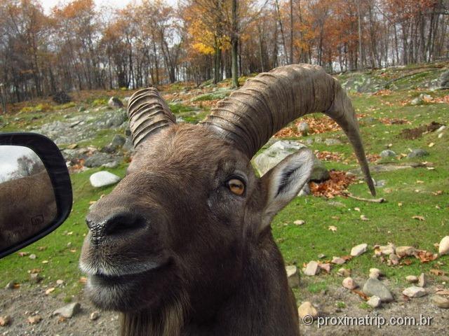 Um Ibex - Parc Omega - Canadá