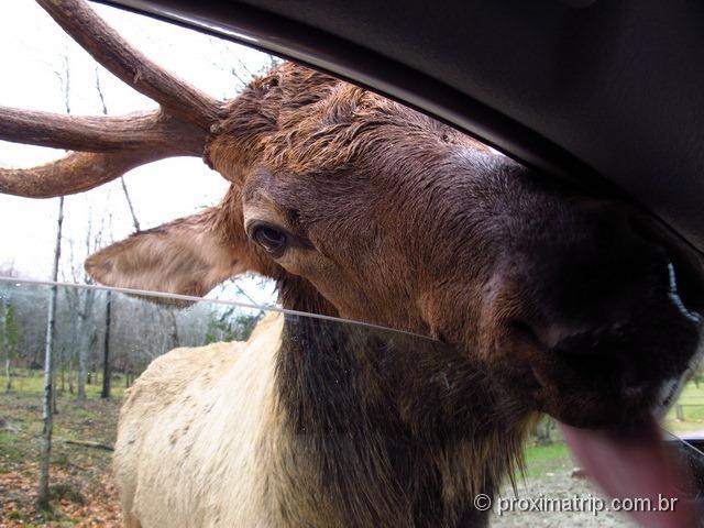 O cervo canadense tentando nos lamber! Parc Omega - Canadá