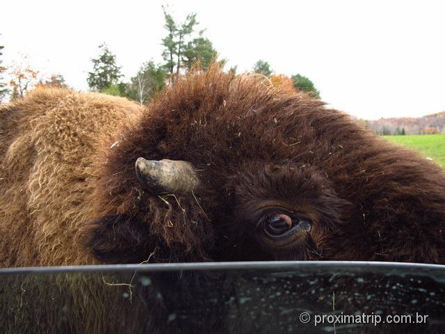 """Bisão com olhar de """"bonzinho"""" - Parc Omega - Canadá"""