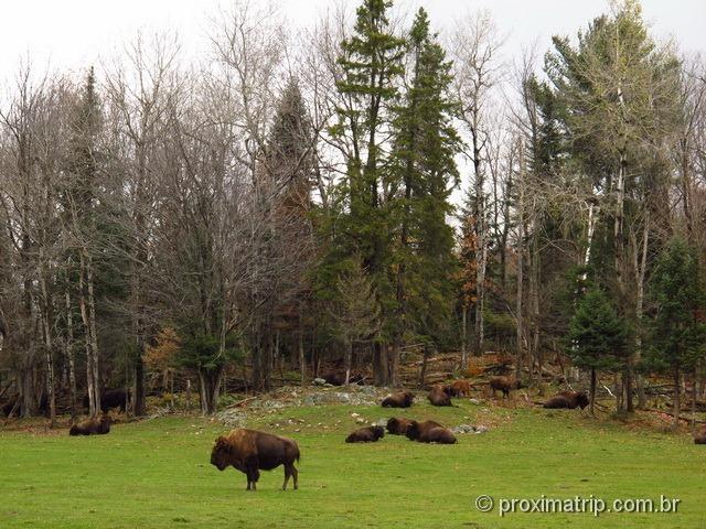 Bisões - Parc Omega - Canadá