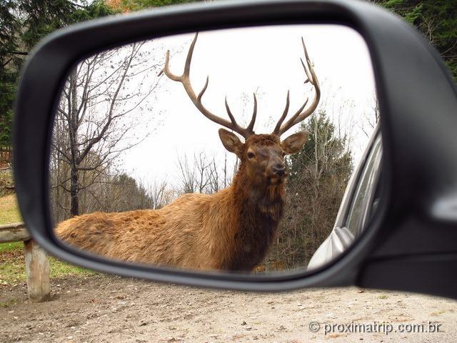 Cervo canadense - Parc Omega - Canadá