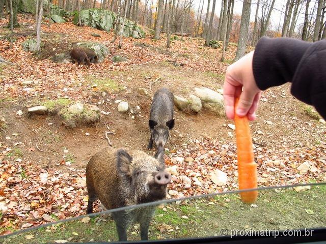 Dando cenoura para os porcos do Mato - Parc Omega - Canadá