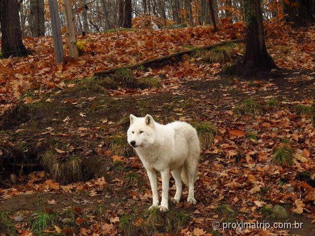 Lobo branco - Parc Omega - Canadá