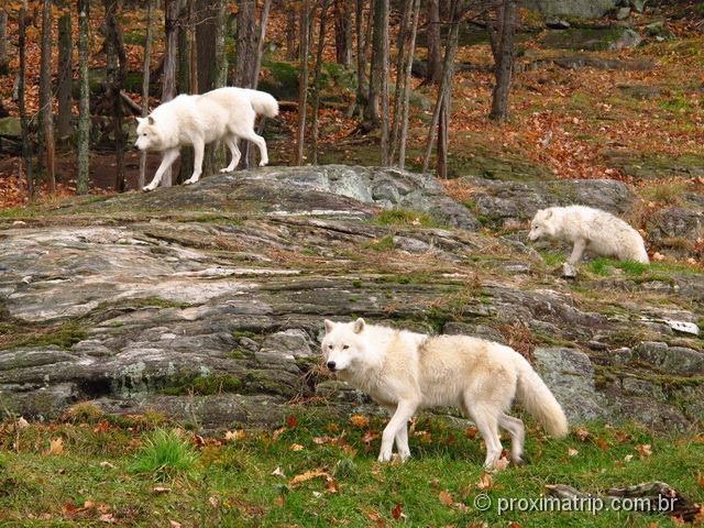 Matilha de lobos brancos - Parc Omega - Canadá