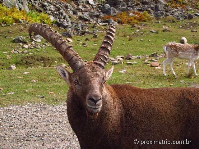 Lindo Ibex - Parc Omega - Canadá