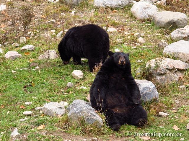 Urso preto - Parc Omega - Canadá