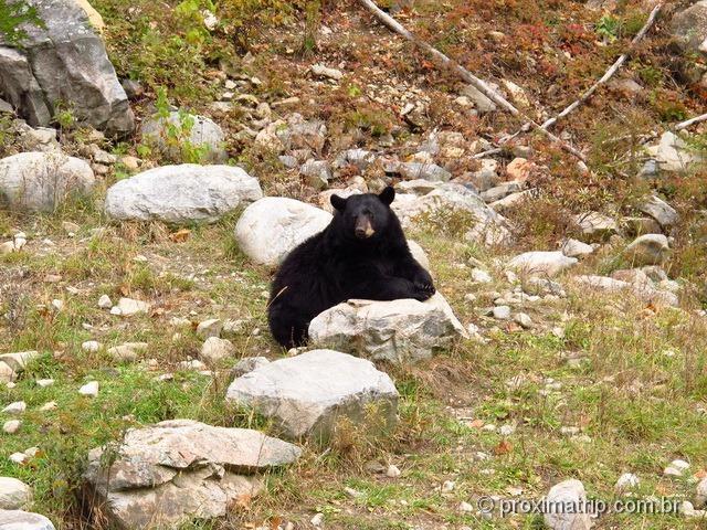 Urso negro - Parc Omega - Canadá