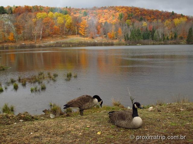 Patos canadenses - Parc Omega - Canadá