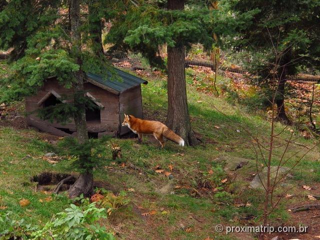 Raposa vermelha - Parc Omega - Canadá