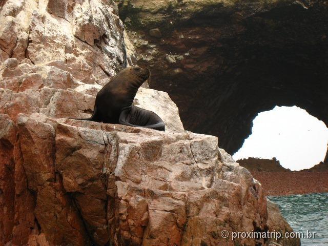 Leão marinho visto no Tour às Islas Ballestas
