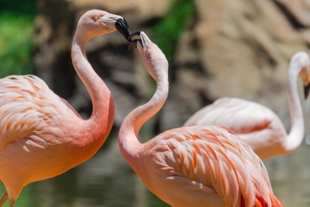 Close up group of a pink Chilean Flamingo Phoenicopterus chilensis in the zoo they are from Southern South America range