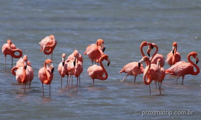 Flamingos selvagens em Curaçao