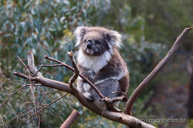 koala em gold coast